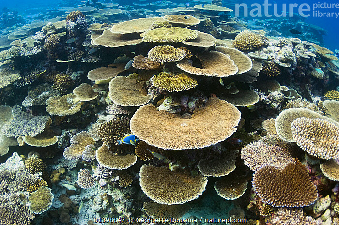 Table top coral (Acropora hyacinthus) formations on shallow reef top. Maldives, Indian Ocean, ANTHOZOANS,CNIDARIANS,CORAL REEFS,CORALS,HABITAT,HARD CORALS,INDIAN OCEAN ISLANDS,INDIAN OCEAN,INVERTEBRATES,LANDSCAPES,MARINE,TROPICAL,UNDERWATER,WORMS,Cnidaria, Georgette Douwma