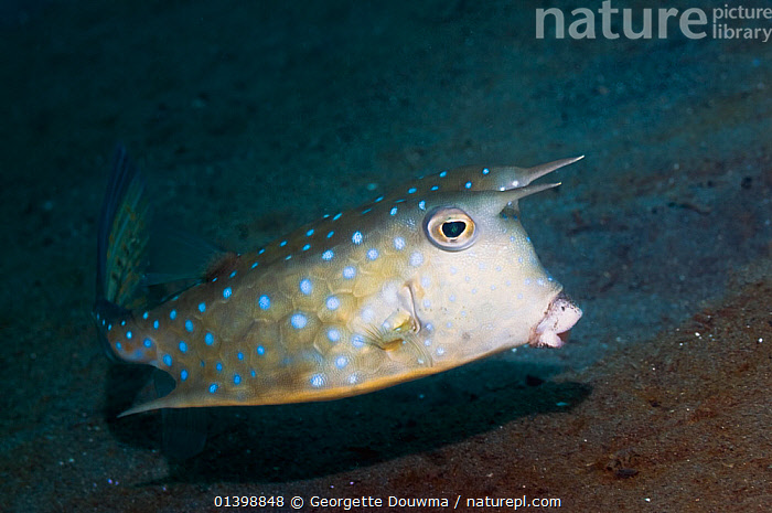 Longhorn cowfish (Lactoria cornuta) Manado, North Sulawesi, Indonesia  ,  FISH,INDO PACIFIC,MARINE,OSTEICHTHYES,PORTRAITS,PROFILE,SOUTH EAST ASIA,TROPICAL,TRUNKFISH,UNDERWATER,VERTEBRATES,SOUTH-EAST-ASIA,Asia,Adders,Vipers,Snakes  ,  Georgette Douwma