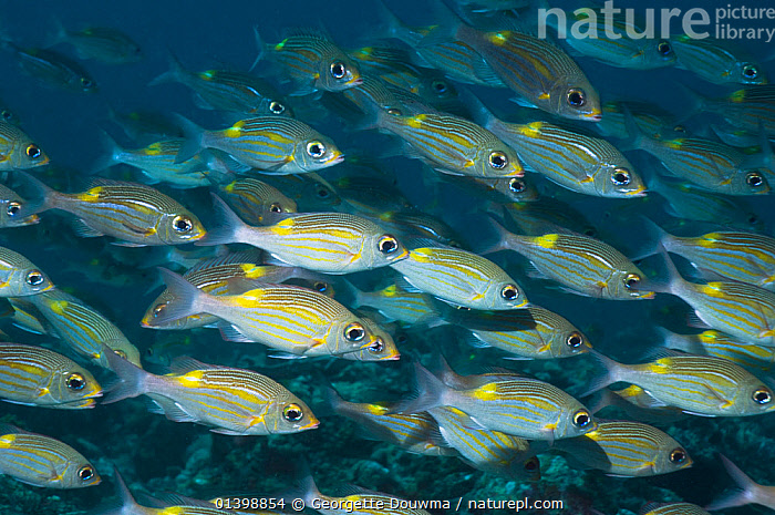 Yellowspot emperors (Gnathodentex aurolineatus) schooling on coral reef, Maldives, Indian Ocean  ,  CORAL REEFS,EMPERORS,FISH,GROUPS,INDIAN OCEAN ISLANDS,INDIAN OCEAN,MANY,MARINE,MASS,OSTEICHTHYES,SCHOOLING,SHOALING,SHOALS,TROPICAL,UNDERWATER,VERTEBRATES  ,  Georgette Douwma