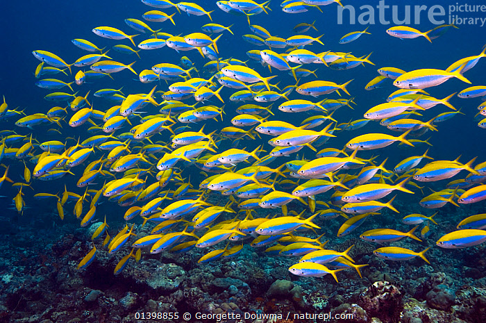 Yellowtop fusiliers (Caesio xanthonota) school over coral reef, Maldives, Indian Ocean  ,  CORAL REEFS,FISH,FUSILIERS,GROUPS,INDIAN OCEAN ISLANDS,INDIAN OCEAN,MANY,MARINE,MASS,OSTEICHTHYES,SCHOOLING,SCHOOLS,SHOALING,SHOALS,TROPICAL,UNDERWATER,VERTEBRATES  ,  Georgette Douwma