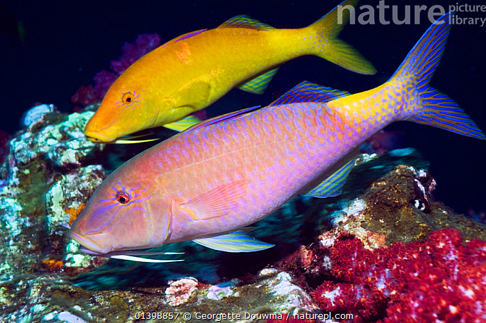 Yellowsaddle goatfish (Parupeneus cyclostomus) pair hunting over corals, Andaman Sea, Thailand  ,  BEHAVIOUR,CORAL REEFS,CORAL REEFS,FISH,GOATFISH,INDIAN OCEAN,MARINE,OSTEICHTHYES,PROFILE,SOUTH EAST ASIA,TROPICAL,TWO,UNDERWATER,VERTEBRATES,SOUTH-EAST-ASIA  ,  Georgette Douwma