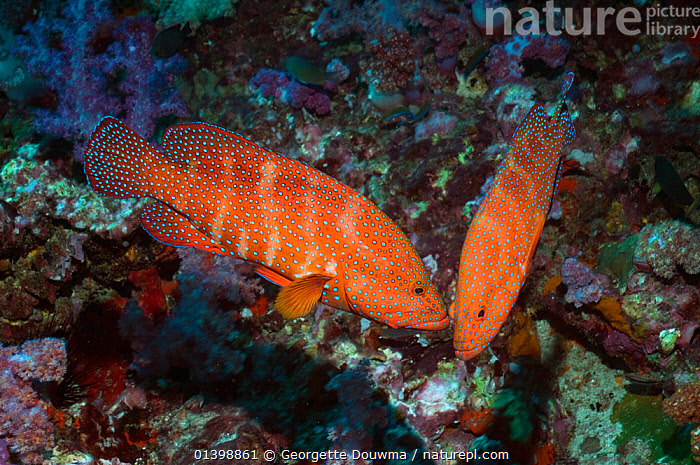 Coral hinds (Cephalopholis miniata) interacting, Andaman Sea, Thailand  ,  BEHAVIOUR,CORAL REEFS,FISH,GROUPERS,INDIAN OCEAN,MARINE,OSTEICHTHYES,PAIR,SOUTH EAST ASIA,TROPICAL,TWO,UNDERWATER,VERTEBRATES,SOUTH-EAST-ASIA  ,  Georgette Douwma