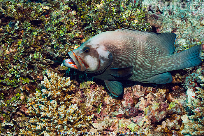 Redmouth grouper (Aethaloperca rogaa). Maldives., CORAL REEFS,FISH,GROUPERS,INDIAN OCEAN,MALDIVES,MARINE,RED MOUTH ROCKCOD,RED MOUTHED GROPER,RED FLUSHED COD,RED FLUSHED ROCK COD,SERRANIDAE,TROPICAL,UNDERWATER,VERTEBRATES,INDIAN OCEAN ISLANDS, Georgette Douwma