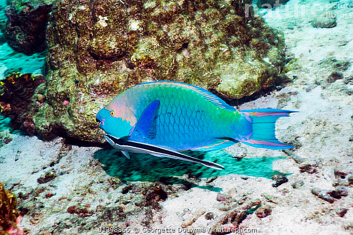 Greenthroat or Singapore parrotfish (Scarus prasiognathus), terminal male with a Remora or Sharksucker (Echeneis naucrates), Andaman Sea, Thailand., ANDAMAN SEA,ASIA,BEHAVIOUR,CORAL REEFS,FISH,INDIAN OCEAN,MALES,MARINE,OSTEICHTHYES,PARROTFISH,SOUTH EAST ASIA,SYMBIOSIS,THAILAND,TROPICAL,TROPICS,UNDERWATER,VERTEBRATES,Concepts,Partnership,SOUTH-EAST-ASIA, Georgette Douwma