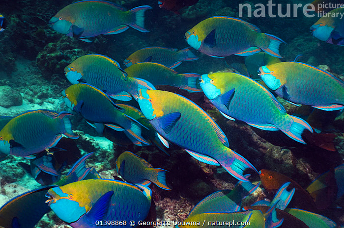 Greenthroat or Singapore parrotfish (Scarus prasiognathus), large school of terminal males shoaling, Andaman Sea, Thailand., ASIA,BLURRED,CORAL REEFS,FISH,GROUPS,INDIAN OCEAN,MALES,MARINE,MOTION,MOVEMENT,MOVING,OSTEICHTHYES,PARROTFISH,SHOALING,SHOALS,SOUTH EAST ASIA,THAILAND,TROPICAL,TROPICS,UNDERWATER,VERTEBRATES,SOUTH-EAST-ASIA, Georgette Douwma