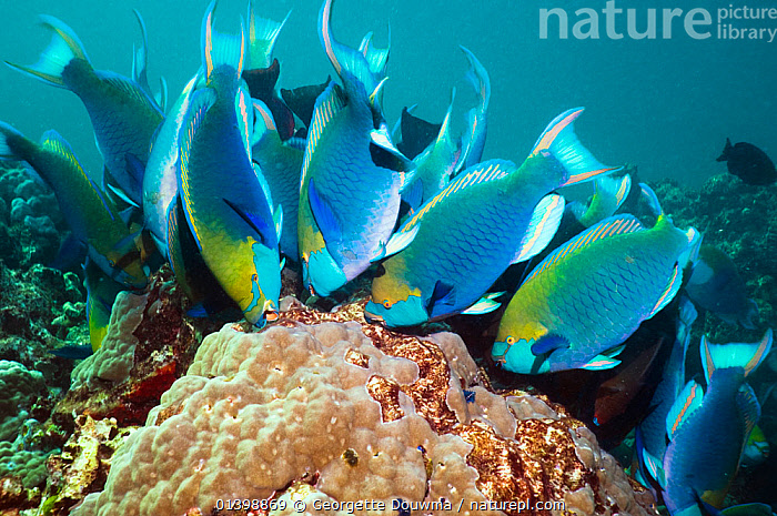 Greenthroat or Singapore parrotfish (Scarus prasiognathus) large school of terminal males grazing on algae covered coral boulders, Andaman Sea, Thailand., ASIA,BEHAVIOUR,CORAL REEFS,CORALS,FEEDING,FISH,GROUPS,HABITAT,INDIAN OCEAN,MALES,MARINE,OSTEICHTHYES,PARROTFISH,SHOALING,SHOALS,SOUTH EAST ASIA,THAILAND,TROPICAL,TROPICS,UNDERWATER,VERTEBRATES,SOUTH-EAST-ASIA, Georgette Douwma