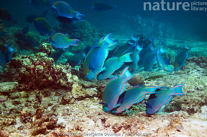 Greenthroat or Singapore parrotfish (Scarus prasiognathus), large school of terminal males grazing on algae covered coral rubble on sandy bottom, Andaman Sea, Thailand.  ,  BEHAVIOUR,CORAL REEFS,FEEDING,FISH,GROUPS,HABITAT,INDIAN OCEAN,MALES,MARINE,OSTEICHTHYES,PARROTFISH,SHOALS,SOUTH EAST ASIA,TROPICAL,UNDERWATER,VERTEBRATES  ,  Georgette Douwma