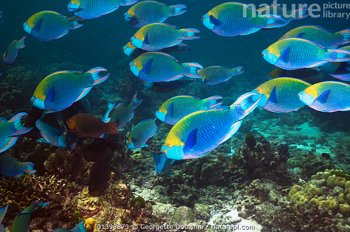 Greenthroat or Singapore parrotfish (Scarus prasiognathus), large school of terminal males swimming over coral reef, Andaman Sea, Thailand., ASIA,BLURRED,CORAL REEFS,FISH,GROUPS,INDIAN OCEAN,MALES,MARINE,MOTION,MOVEMENT,MOVING,OSTEICHTHYES,PARROTFISH,SHOALING,SHOALS,SOUTH EAST ASIA,THAILAND,TROPICAL,TROPICS,UNDERWATER,VERTEBRATES,SOUTH-EAST-ASIA, Georgette Douwma