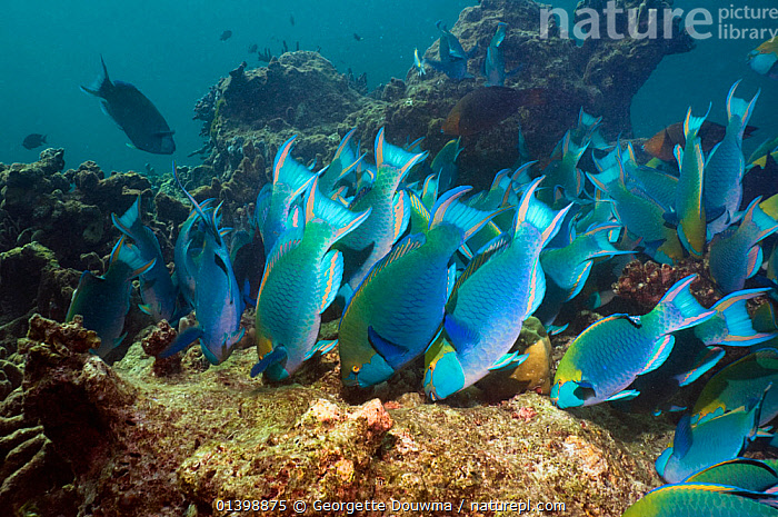 Greenthroat or Singapore parrotfish (Scarus prasiognathus), large school of terminal males grazing on algae covered coral boulders, Andaman Sea, Thailand.  ,  ALGAE,ANDAMAN SEA,ASIA,BEHAVIOUR,CORAL REEFS,FEEDING,FISH,GRAZING,GROUPS,HABITAT,INDIAN OCEAN,MALES,MARINE,OSTEICHTHYES,PARROTFISH,SHOALING,SHOALS,SOUTH EAST ASIA,THAILAND,TROPICAL,TROPICS,UNDERWATER,VERTEBRATES,Plants,SOUTH-EAST-ASIA  ,  Georgette Douwma