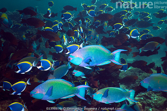 Greenthroat or Singapore parrotfish (Scarus prasiognathus), terminal males with females and Powderblue surgeonfish (Acanthurus leucosternon) in background, Andaman Sea, Thailand.  ,  ASIA,CORAL REEFS,FEMALES,FISH,GROUPS,INDIAN OCEAN,MALES,MARINE,MASS,MIXED SPECIES,OSTEICHTHYES,PARROTFISH,SHOALING,SHOALS,SOUTH EAST ASIA,THAILAND,TROPICAL,TROPICS,UNDERWATER,VERTEBRATES,SOUTH-EAST-ASIA  ,  Georgette Douwma