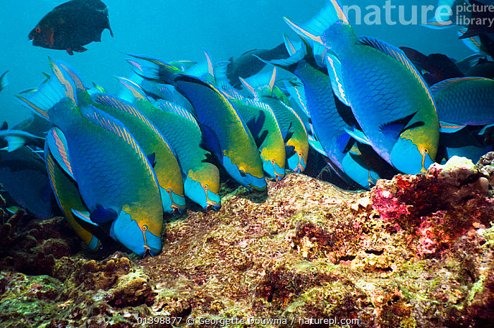 Greenthroat or Singapore parrotfish (Scarus prasiognathus), large school of terminal males grazing on algae covered coral boulders, Andaman Sea, Thailand., ALGAE,ASIA,BEHAVIOUR,CORAL REEFS,CORALS,FEEDING,FISH,GROUPS,INDIAN OCEAN,MALES,MARINE,OSTEICHTHYES,PARROTFISH,SHOALING,SHOALS,SOUTH EAST ASIA,THAILAND,TROPICAL,TROPICS,UNDERWATER,VERTEBRATES,Plants,SOUTH-EAST-ASIA, Georgette Douwma