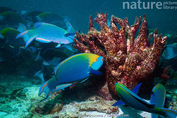 Greenthroat or Singapore parrotfish (Scarus prasiognathus), terminal males grazing on algae covered coral, Andaman Sea, Thailand  ,  ASIA,BEHAVIOUR,CORAL REEFS,CORALS,FEEDING,FISH,GRAZING,GROUPS,INDIAN OCEAN,MALES,MARINE,OSTEICHTHYES,PARROTFISH,SOUTH EAST ASIA,THAILAND,TROPICAL,TROPICS,UNDERWATER,VERTEBRATES,SOUTH-EAST-ASIA  ,  Georgette Douwma