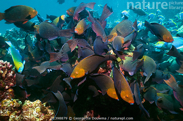 Greenthroat or Singapore parrotfish (Scarus prasiognathus) females with some terminal males grazing on algae covered coral boulders, Andaman Sea, Thailand., ASIA,BEHAVIOUR,CORAL REEFS,CORALS,FEEDING,FEMALES,FISH,GROUPS,INDIAN OCEAN,MALES,MARINE,OSTEICHTHYES,PARROTFISH,SHOALS,SOUTH EAST ASIA,THAILAND,TROPICAL,TROPICS,UNDERWATER,VERTEBRATES,SOUTH-EAST-ASIA, Georgette Douwma