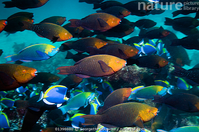 Greenthroat or Singapore parrotfish (Scarus prasiognathus) large school of females with some terminal males swimming over coral reef, Andaman Sea, Thailand., ASIA,CORAL REEFS,DIMORPHISM,FEMALES,FISH,GROUPS,INDIAN OCEAN,MALES,MARINE,MIXED SPECIES,OSTEICHTHYES,PARROTFISH,SHOALING,SHOALS,SOUTH EAST ASIA,THAILAND,TROPICAL,TROPICS,UNDERWATER,VERTEBRATES,SOUTH-EAST-ASIA, Georgette Douwma