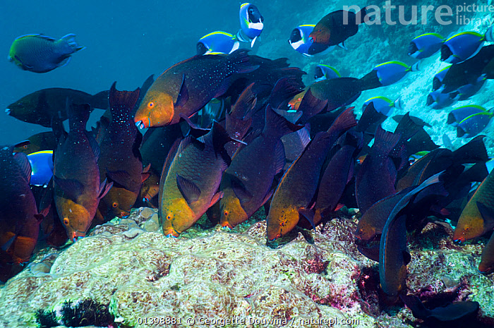 Greenthroat or Singapore parrotfish (Scarus prasiognathus), large school of females grazing on algae covered coral boulder, Andaman Sea, Thailand.  ,  ALGAE,ANDAMAN SEA,ASIA,BEHAVIOUR,CORAL REEFS,CORALS,FEEDING,FEMALES,FISH,GROUPS,INDIAN OCEAN,MARINE,OSTEICHTHYES,PARROTFISH,SHOALS,SOUTH EAST ASIA,THAILAND,TROPICAL,TROPICS,UNDERWATER,VERTEBRATES,Plants,SOUTH-EAST-ASIA  ,  Georgette Douwma