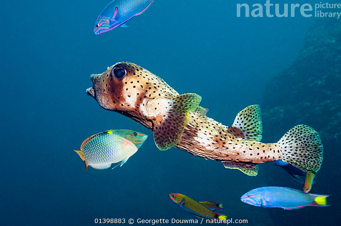 Pacific / Spottedfin burrfish (Chilomycterus reticulatus) swimming over coral reef, Andaman Sea, Thailand., BURRFISH,FISH,INDIAN OCEAN,MARINE,MIXED SPECIES,OSTEICHTHYES,PORTRAITS,PROFILE,SOUTH EAST ASIA,THAILAND,TROPICAL,UNDERWATER,VERTEBRATES,SOUTH-EAST-ASIA, Georgette Douwma