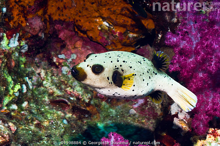 Black spotted puffer (Arothron nigropunctatus)Andaman Sea, Thailand.  ,  CORAL REEFS,FISH,INDIAN OCEAN,MARINE,OSTEICHTHYES,PROFILE,PUFFERFISH,SOUTH EAST ASIA,TROPICAL,UNDERWATER,VERTEBRATES  ,  Georgette Douwma
