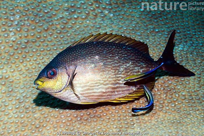 Rivulated rabbitfish (Siganus rivulatus) being cleaned by a Bluestreak cleaner wrasse (Labroides dimidiatus) Andaman Sea, Thailand  ,  BEHAVIOUR,CLEANING STATION,CORAL REEFS,FISH,GROOMING,INDIAN OCEAN,MARINE,MIXED SPECIES,OSTEICHTHYES,RABBITFISH,SOUTH EAST ASIA,SYMBIOSIS,TROPICAL,UNDERWATER,VERTEBRATES,Concepts,Partnership,SOUTH-EAST-ASIA  ,  Georgette Douwma