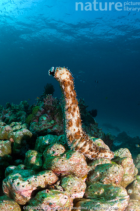 Graeff's sea cucumber (Bohadschia graeffei) has climbed on top of a coral boulder to spawn, Andaman Sea, Thailand, BEHAVIOUR, CORAL-REEFS, ECHINODERMS, HOLOTHURIDEA, INDIAN-OCEAN, INVERTEBRATES, MARINE, REPRODUCTION, SEA-CUCUMBERS, South East Asia, spawning, TROPICAL, UNDERWATER, VERTICAL,SOUTH-EAST-ASIA, Georgette Douwma