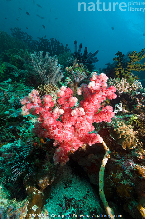 Soft coral (Dendronephthya sp.) on coral reef., Rinca, Komodo National Park, Indonesia, ANTHOZOANS,CNIDARIANS,CORAL REEFS,CORALS,INDO PACIFIC,INVERTEBRATES,MARINE,NP,RESERVE,SOFT CORALS,SOUTH EAST ASIA,TROPICAL,UNDERWATER,VERTICAL,WORMS,SOUTH-EAST-ASIA,Asia,National Park,Cnidaria,,NP,Komodo National Park,UNESCO World Heritage Site, Georgette Douwma