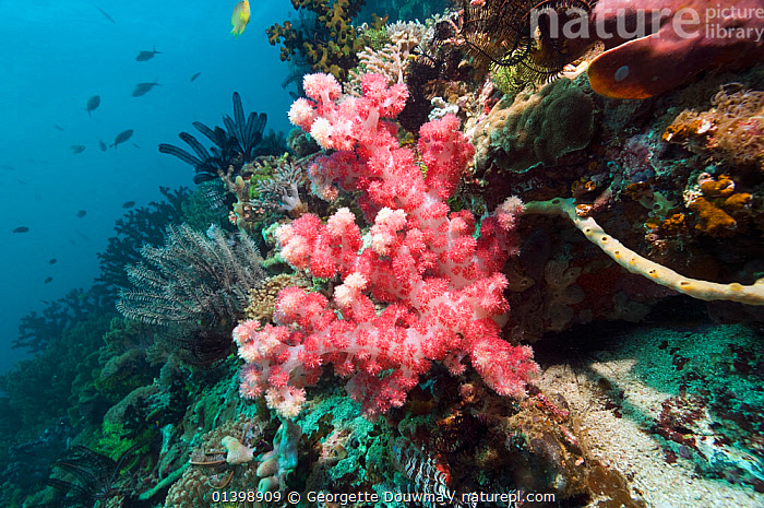 Soft coral (Dendronephthya sp.) on coral reef,  Rinca, Komodo National Park, Indonesia, ANTHOZOANS,CNIDARIANS,CORAL REEFS,CORALS,FISH,HABITAT,INDO PACIFIC,INVERTEBRATES,MARINE,MIXED SPECIES,NATIONAL PARK,NP,RESERVE,SOFT CORALS,SOUTH EAST ASIA,TROPICAL,UNDERWATER,WORMS,SOUTH-EAST-ASIA,Asia,Cnidaria,,NP,Komodo National Park,UNESCO World Heritage Site, Georgette Douwma