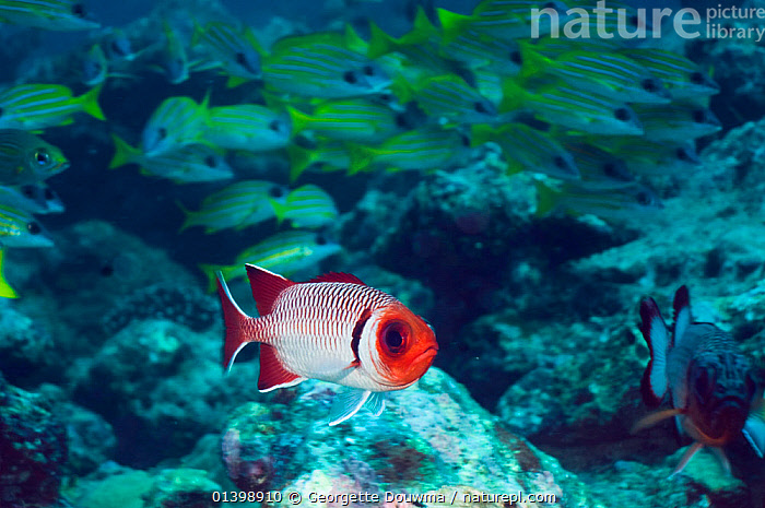 Splendid soldierfish (Myripristis melanostica) with Blueline snappers in background, Maldives, Indian Ocean  ,  CORAL REEFS,FISH,GROUPS,INDIAN OCEAN ISLANDS,INDIAN OCEAN,MARINE,MIXED SPECIES,OSTEICHTHYES,SHOALS,SOLDIERFISH,TROPICAL,UNDERWATER,VERTEBRATES  ,  Georgette Douwma