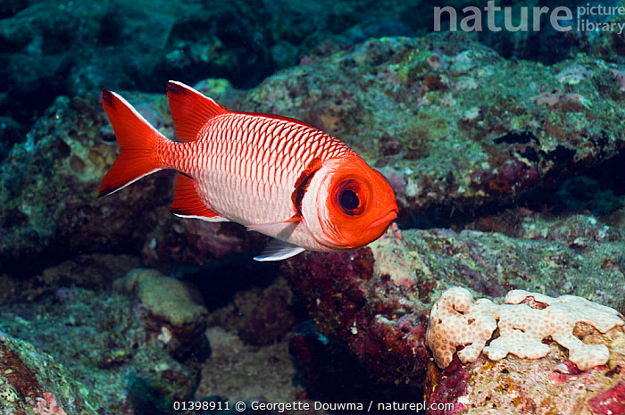 Splendid soldierfish (Myripristis melanostica) Maldives, Indian Ocean  ,  CORAL REEFS,FISH,INDIAN OCEAN ISLANDS,INDIAN OCEAN,MARINE,OSTEICHTHYES,PORTRAITS,PROFILE,SOLDIERFISH,TROPICAL,UNDERWATER,VERTEBRATES  ,  Georgette Douwma