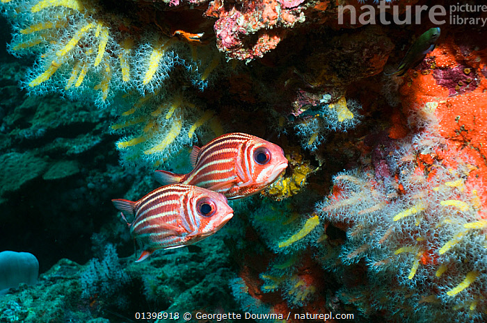 Threespot squirrelfish (Sargocentron cornutum) pair under overhang with soft corals, Andaman Sea, Thailand, CORAL REEFS,FISH,INDIAN OCEAN,INDO PACIFIC,MARINE,OSTEICHTHYES,SOUTH EAST ASIA,SQUIRRELFISH,TROPICAL,TWO,UNDERWATER,VERTEBRATES,SOUTH-EAST-ASIA, Georgette Douwma