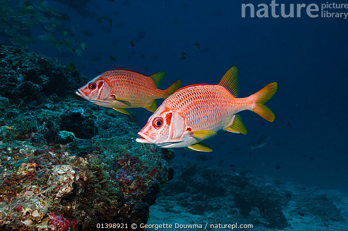 Long jawed / Sabre squirrelfish (Sargocentron spiniferum) pair over coral reef, Maldives, Indian Ocean, CORAL REEFS,FISH,INDIAN OCEAN,INDIAN OCEAN ISLANDS,INDIAN OCEAN,MARINE,OSTEICHTHYES,PROFILE,SQUIRRELFISH,TROPICAL,TWO,UNDERWATER,VERTEBRATES, Georgette Douwma
