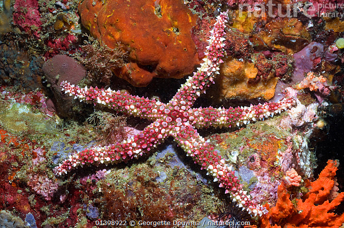 Friant's seastar (Nardoa frianti) Rinca, Komodo National Park, Indonesia  ,  ECHINODERMS,INDO PACIFIC,INVERTEBRATES,MARINE,NATIONAL PARK,NP,OPHISTIASTERIDAE,RESERVE,SEASTARS,SOUTH EAST ASIA,STARFISH,TROPICAL,UNDERWATER,SOUTH-EAST-ASIA,Asia,,NP,Komodo National Park,UNESCO World Heritage Site,  ,  Georgette Douwma