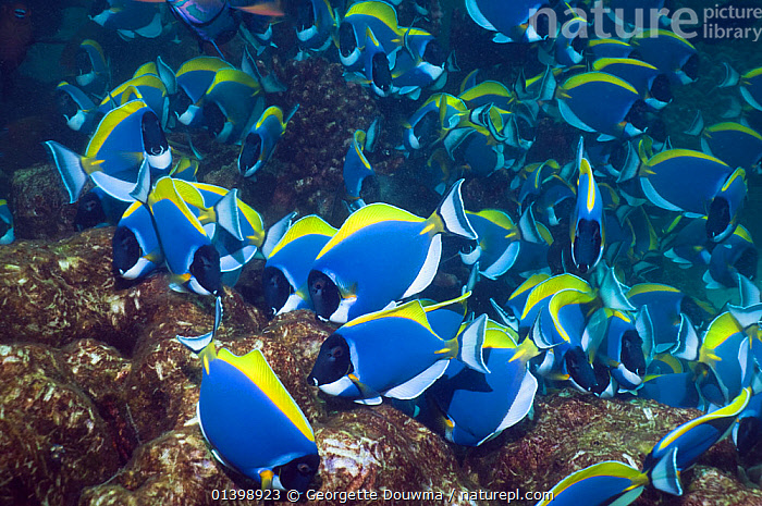 Powder blue surgeonfish (Acanthurus leucosternon), large school feeding on algae on coral boulders, Andaman Sea, Thailand, ALGAE,CORAL REEFS,FEEDING,FISH,GRAZING,GROUPS,INDIAN OCEAN,INDO PACIFIC,INDO PACIFIC,MARINE,MASS,OSTEICHTHYES,SHOALING,SHOALS,SOUTH EAST ASIA,SURGEONFISH,TROPICAL,UNDERWATER,VERTEBRATES,Plants,SOUTH-EAST-ASIA, Georgette Douwma