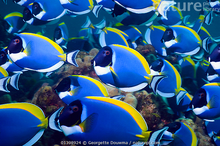 Powder blue surgeonfish (Acanthurus leucosternon), large school feeding on algae on coral boulders, Andaman Sea, Thailand  ,  ALGAE,CORAL REEFS,FEEDING,FISH,GRAZING,GROUPS,INDIAN OCEAN,INDO PACIFIC,INDO PACIFIC,MARINE,MASS,OSTEICHTHYES,SHOALING,SHOALS,SOUTH EAST ASIA,SURGEONFISH,TROPICAL,UNDERWATER,VERTEBRATES,Plants,SOUTH-EAST-ASIA  ,  Georgette Douwma