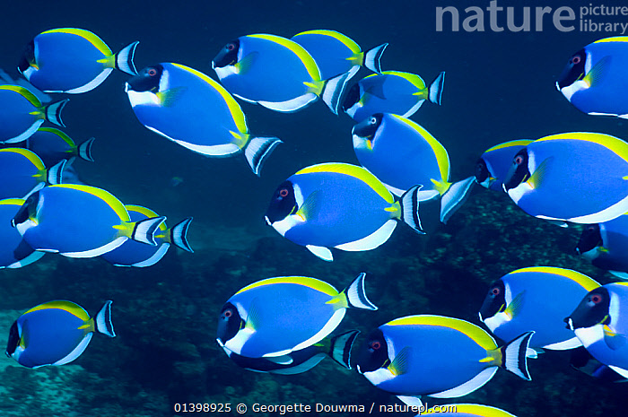 Powder blue surgeonfish (Acanthurus leucosternon), large school swimming, Andaman Sea, Thailand  ,  CORAL REEFS,FISH,GROUPS,INDIAN OCEAN,INDO PACIFIC,INDO PACIFIC,MARINE,MASS,OSTEICHTHYES,SCHOOLS,SHOALING,SHOALS,SOUTH EAST ASIA,SURGEONFISH,TROPICAL,UNDERWATER,VERTEBRATES,SOUTH-EAST-ASIA  ,  Georgette Douwma