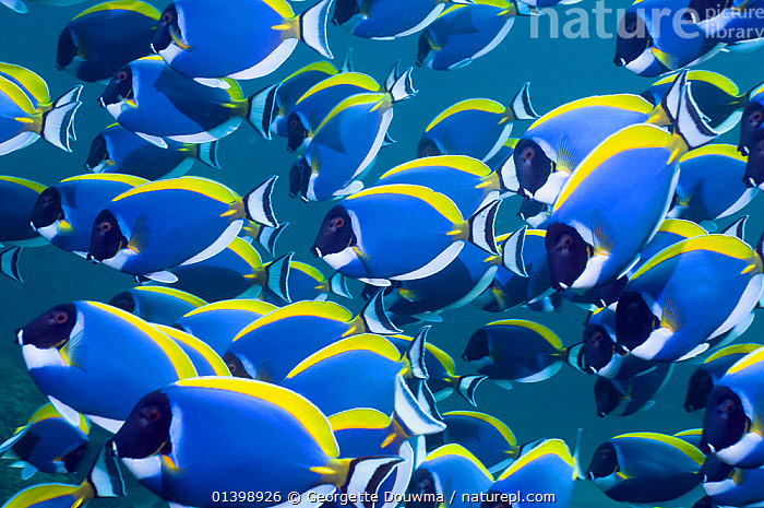 Powder blue surgeonfish (Acanthurus leucosternon), large school swimming, Andaman Sea, Thailand, CORAL REEFS,CORAL REEFS,FISH,GROUPS,INDIAN OCEAN,INDO PACIFIC,INDO PACIFIC,MANY,MARINE,MASS,OSTEICHTHYES,SHOALING,SHOALS,SOUTH EAST ASIA,SURGEONFISH,TROPICAL,UNDERWATER,VERTEBRATES,SOUTH-EAST-ASIA, Georgette Douwma