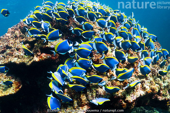 Powder blue surgeonfish (Acanthurus leucosternon), large school feeding on algae on coral boulders, Andaman Sea, Thailand, CORAL REEFS,FEEDING,FISH,GROUPS,INDO PACIFIC,MARINE,OSTEICHTHYES,REEFS,SCHOOLS,SEA,SHOALS,SOUTH EAST ASIA,SURGEONFISH,THAILAND,TROPICAL,TROPICS,UNDERWATER,VERTEBRATES,SOUTH-EAST-ASIA, Georgette Douwma
