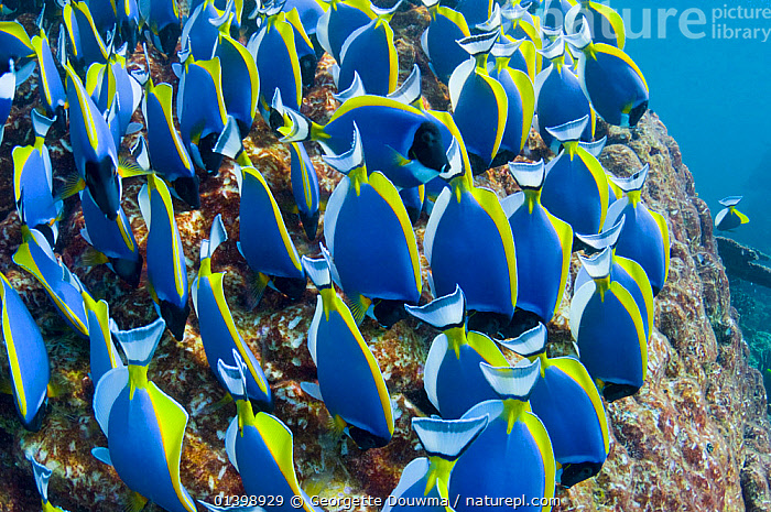 Powder blue surgeonfish (Acanthurus leucosternon), large school feeding on algae on coral boulders, Andaman Sea, Thailand., ASIA,BEHAVIOUR,CORAL REEFS,FEEDING,FISH,GROUPS,INDO PACIFIC,MARINE,OSTEICHTHYES,REEFS,SCHOOLS,SEA,SHOALS,SOUTH EAST ASIA,SURGEONFISH,THAILAND,TROPICAL,TROPICS,UNDERWATER,VERTEBRATES,SOUTH-EAST-ASIA, Georgette Douwma