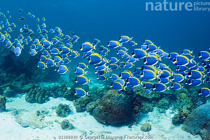 Powder blue surgeonfish (Acanthurus leucosternon), large school swimming, Andaman Sea, Thailand., CORAL REEFS,FISH,GROUPS,INDO PACIFIC,MARINE,MASS,MOVING,OSTEICHTHYES,REEFS,SCHOOLS,SHOALING,SHOALS,SOUTH EAST ASIA,SURGEONFISH,THAILAND,TRAVELLING,TROPICAL,TROPICS,UNDERWATER,VERTEBRATES,SOUTH-EAST-ASIA, Georgette Douwma