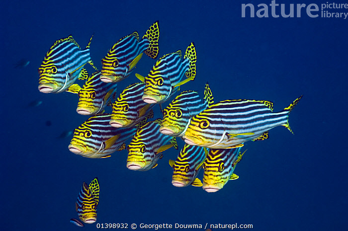 Oriental sweetlips (Plectorhinchus vittatus), Maldives, Indian Ocean  ,  FISH,GROUPS,INDIAN OCEAN,MARINE,OSTEICHTHYES,SHOALS,STRIPES,SWEETLIPS,TROPICAL,TROPICS,UNDERWATER,VERTEBRATES,INDIAN OCEAN ISLANDS,Catalogue5  ,  Georgette Douwma