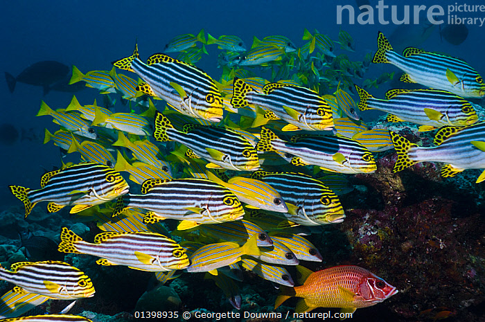 Oriental sweetlips (Plectorhinchus vittatus) with a school of Blueline snappers (Lutjanus kasmira) and a Sabretooth squirrelfish in background, Maldives, Indian Ocean  ,  CORAL REEFS,FISH,GROUPS,INDIAN OCEAN,MARINE,MIXED SPECIES,OSTEICHTHYES,SHOALS,STRIPES,SWEETLIPS,TROPICAL,TROPICS,UNDERWATER,VERTEBRATES,INDIAN OCEAN ISLANDS  ,  Georgette Douwma