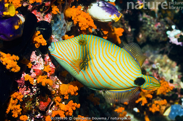 Orangestriped triggerfish (Balistapus undulatus) swimming past coral wall covered in invertebrates, Raja Ampat, West Papua, Indonesia, CORAL REEFS,FISH,INDO PACIFIC,INDONESIA,MARINE,OSTEICHTHYES,PORTRAITS,PROFILE,SOUTH EAST ASIA,STRIPES,TRIGGERFISH,TROPICAL,TROPICS,UNDERWATER,VERTEBRATES,SOUTH-EAST-ASIA,Asia, Georgette Douwma