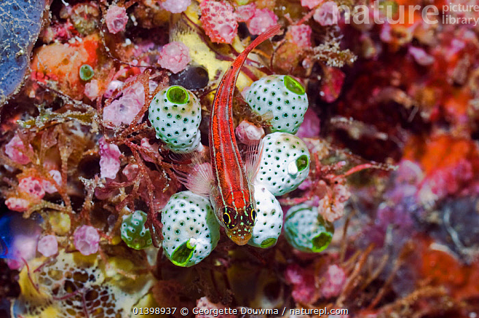 Striped triplefin (Helcogramma striata) lying on Sea squirts (Atriolum robustum) Raja Ampat, West Papua, Indonesia, CORAL REEFS,FISH,INDONESIA,INDO PACIFIC,MARINE,MIXED SPECIES,OSTEICHTHYES,SOUTH EAST ASIA,TRIPLEFINS,TROPICAL,TROPICS,UNDERWATER,VERTEBRATES,SOUTH-EAST-ASIA,Asia, Georgette Douwma