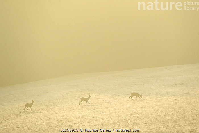 Roe deer (Capreolus capreolus) in distance at dawn, Vosges, France, February, ARTIODACTYLA,ATMOSPHERIC,CERVIDAE,COLD,DAWN,DEER,EUROPE,FRANCE,FROST,LANDSCAPES,MAMMALS,SNOW,THREE,VERTEBRATES,Weather, Fabrice Cahez