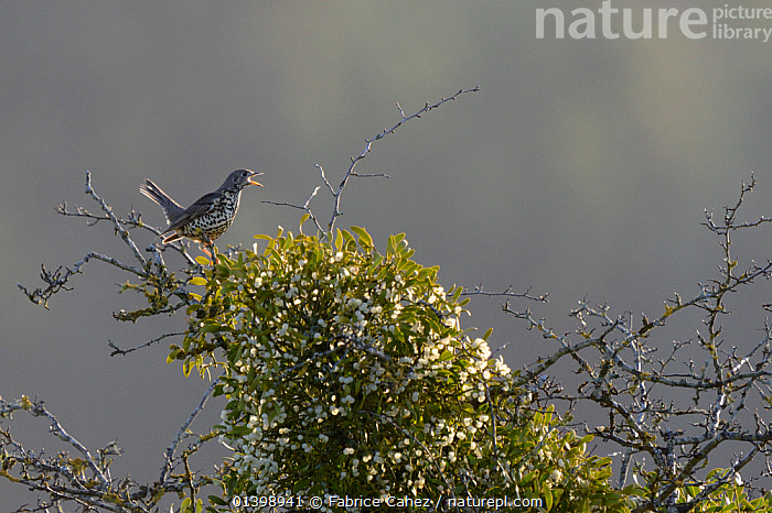 Mistle thrush (Turdus viscivorus) perched next to Mistletoe (Viscum album) in winter, Vosges, France, January, BIRDS,DICOTYLEDONS,DISPERSAL,EUROPE,FRANCE,FRUIT,PLANTS,SONGBIRDS,THRUSHES,TURDIDAE,VERTEBRATES,VISCACEAE,VOCALISATION, Fabrice Cahez