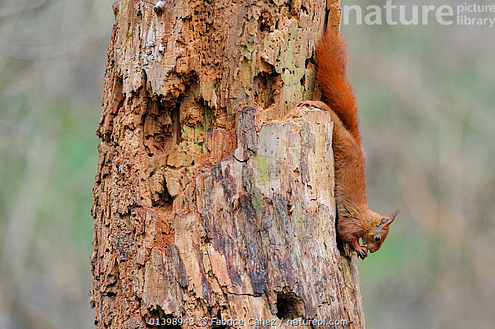 Red squirrel (Sciurus vulgaris) on tree trunk eating a hazelnut, Allier, Auvergne, France, March, EUROPE,FEEDING,FORESTS,FRANCE,MAMMALS,RODENTS,SCIURIDAE,SQUIRRELS,TRUNKS,VERTEBRATES,WOODLANDS, Fabrice Cahez