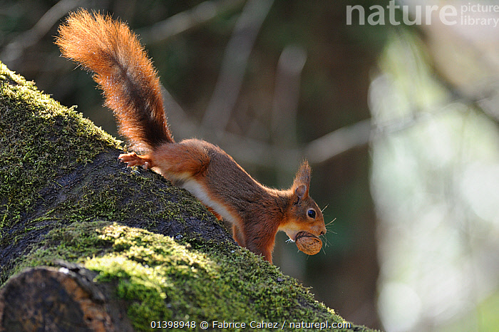 Red squirrel (Sciurus vulgaris) climbing down tree with hazelnut, Allier, Auvergne, France, March  ,  CLIMBING,EUROPE,FEEDING,FORESTS,FRANCE,MAMMALS,RODENTS,SCIURIDAE,SQUIRRELS,VERTEBRATES,WOODLANDS  ,  Fabrice Cahez