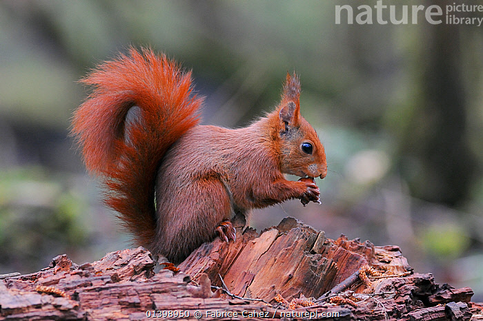 Red squirrel (Sciurus vulgaris) eating hazelnut, Allier, Auvergne, France, March  ,  EUROPE,FEEDING,FORESTS,FRANCE,MAMMALS,PROFILE,RODENTS,SCIURIDAE,SQUIRRELS,VERTEBRATES,WOODLANDS  ,  Fabrice Cahez
