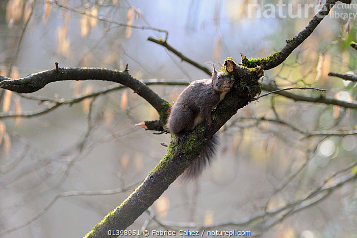Red squirrel (Sciurus vulgaris) scratching itself on branch, Allier, Auvergne, France, March  ,  BRANCHES,EUROPE,FORESTS,FRANCE,GROOMING,MAMMALS,RODENTS,SCIURIDAE,SQUIRRELS,VERTEBRATES,WOODLANDS  ,  Fabrice Cahez