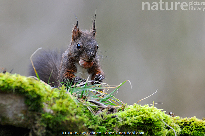 Red squirrel (Sciurus vulgaris) with hazelnut in mouth, Allier, Auvergne, France, March  ,  EUROPE,FEEDING,FORESTS,FRANCE,MAMMALS,RODENTS,SCIURIDAE,SQUIRRELS,VERTEBRATES,WOODLANDS  ,  Fabrice Cahez
