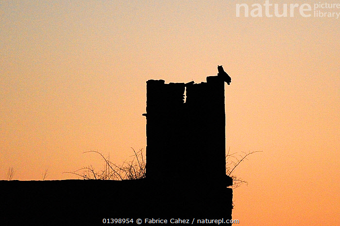 Eurasian eagle owl (Bubo bubo) silhouetted at twilight perched on the ruins of an old castle, Auvergne, France, March  ,  BIRDS,BIRDS OF PREY,BUILDINGS,EUROPE,FRANCE,HISTORICAL,OWLS,SILHOUETTES,TWILIGHT,VERTEBRATES,Raptor,Eagles  ,  Fabrice Cahez