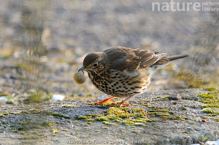 Song trush (Turdus philomelos) with snail prey about to break shell, Vosges, France, February, BEHAVIOUR,BIRDS,EUROPE,FEEDING,FRANCE,PREDATION,SONGBIRDS,THRUSHES,TURDIDAE,VERTEBRATES, Fabrice Cahez